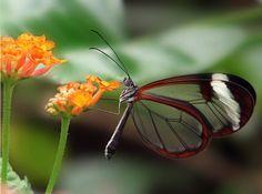 Le Greta Oto - Un papillon aux ailes transparentes