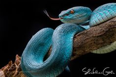Blue Insularis by shikhei