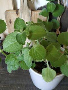 Kraut, Herbalism, Succulents, Homemade, Health, Garden, Plants, Fimo, Herbal Medicine
