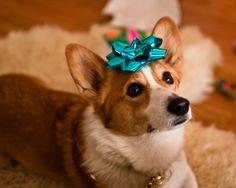 Corgi - All I want for Christmas is you!