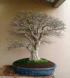 Not the greatest form, but amazing ramification on this bonsai!