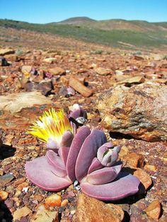 Cheiridopsis peculiaris, South Africa