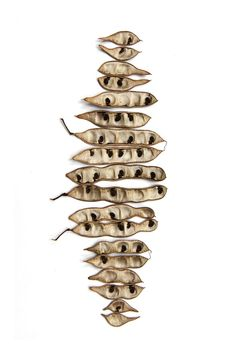 black locust seed pods (mary jo hoffman)