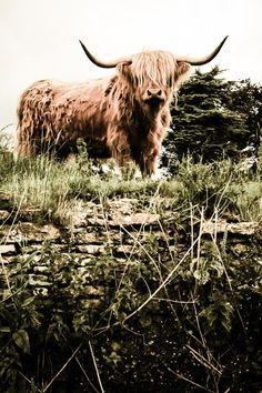 Highland Cattle 11  Fine Art Photography  Cow  Nature von shortwork, £10.11