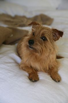 "The best little dog in the world, my Norfolk Terrier ""Honey,"" thank you Jacqueline for this photo~ Norfolk Terrier, Norwich Terrier, Dog Lover Gifts, Dog Lovers, Toto, Little Dogs, Puppy Love, Fur Babies, Cairn Terriers"