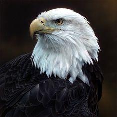 Daniel Smith Sovereign Repose Bald Eagle