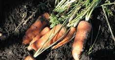 Daucus carota sativus Carrots are believed to have descended from a wild variety in Persia where it was first cultivated. It is best to start preparing the carrot bed the previous fall, especially if manure will be added to the bed. Applying fresh manure and then sowing the seed will result in...