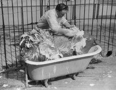 1940: Melvin Koaants cleaning the African Lion at Los Angeles Zoo.    Dang!  I don't feel safe bathing my wee domestic kitties!