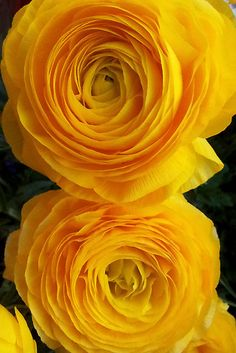 yellow ranunculus ~~A Moment in a Dream by David ROMAN ~~ Amazing Flowers, My Flower, Yellow Flowers, Beautiful Flowers, Begonia, Mellow Yellow, Bright Yellow, Color Yellow, Shades Of Yellow
