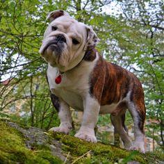 English Bulldog the most beautiful dog of all