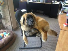 Yogi :) thinks he is a small dog #leonberger