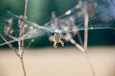 Kołyśnik wielobarwny – Kołosz – (Aculeperia ceropegia)