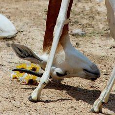 """Ice Blocks"" Animal Play Day @gladysporterzoo 05.18.2014 #gladysporterzoo #brownsvillezoo #texaszoos #animalplayday #animalenrichment #iceblocks"