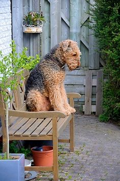 Contemplative Airedale