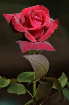 Rose Gardening For Beginners ❥ ❥ - Beautiful Red Roses, Pretty Roses, Red Rosa, Rose Stem, Rose Images, Single Rose, Rose Photography, Flower Wallpaper, Yellow Roses