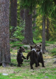 Bear Cubs Playing in the Woods