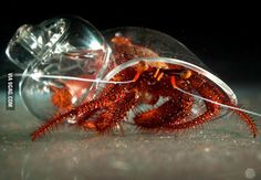 #hermitcrab in a Glass Shell