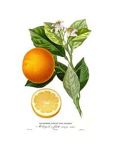 orange blossom branch illustration - Google Search