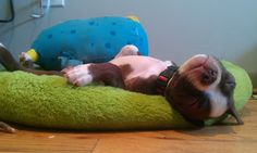 Bad Bad Leroy Brown...Boston Terrier... nappin' it out with his monster