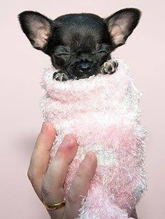 Chihuahua ~~ Oh my Goodness! This is the most precious picture Ive seen yet of my favorite little chi's ~~