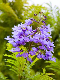 Mein Balkon Jacaranda Hawaiian Blue Tree (jacaranda mimosifolia) – City Tropicals Bringing the Outda Blue Tree, Purple Flowers, Plants, Jacaranda Tree, Beautiful Flowers, Tropical Tree, Trees To Plant, Mimosa Tree, Growing Tree