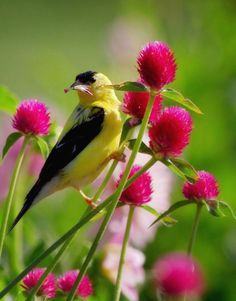 American Goldfinch and Gomphrena