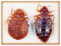 Ottawa has seen a surge in the number of bed bugs infestation in last few years. Bed bugs have come back . Bed bugs are on the rise in Ottawa . Anti Rat, Bed Bug Control, Rid Of Bed Bugs, Bed Bug Bites, Pest Control Services, Garden Guide, Household Items, Insects, Bug Exterminator