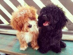 Toy poodles...the best dog breed ever. I will have another some day. ;(