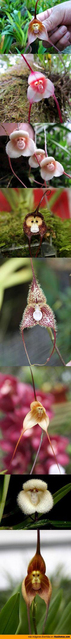 Increíbles orquídeas con cara de mono.