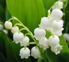 すずらん。結婚式にふさわしいとされる花。 フランスでのすずらんの花言葉は、 ・ずっと前から好きでした ・幸福の再来 ・さりげないお洒落 ・仲直りしましょう ・あなたの美しさ以上に あなたを飾るものはありません 日本でのすずらんの花言葉は、 ・幸福が帰る ・幸福の再来 ・意識しない美しさ ・純粋 ・癒し ・平静 May Flowers, Amazing Flowers, Blossom Flower, Lily Of The Valley, Flower Patterns, Flower Arrangements, Bloom, Nature, Plants