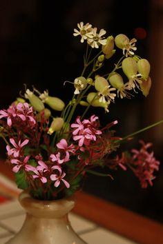 my garden Silene Uniflora