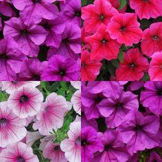 Kit de 4 pétunias couleurs mixtes Kit, Dress, Lawn And Garden, Plant, Colors