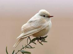 Small Birds, Little Birds, Colorful Birds, Pretty Birds, Beautiful Birds, Animals Beautiful, Rare Birds, Exotic Birds, Vermilion Flycatcher