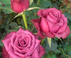 Blueberry - Standard Rose - Roses - Flowers by category   Sierra Flower Finder
