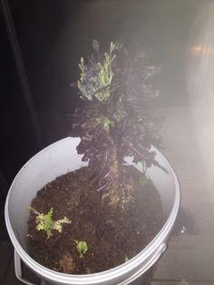Salaattikin kukkii