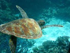 Great Barrier Reef, Sea Turtle