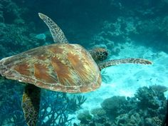 Great Barrier Reef - hello turtle!