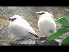 Bali Starling Rothchilds Mynah -  Birds Around the World series
