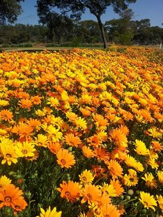 Namaqualand daisies in Mkushi Zambia by Debbie Badcock July 2013 Meadow Garden, Plant Identification, Different Plants, South Africa, Fields, Daisies, Flora, Nature, Outdoor