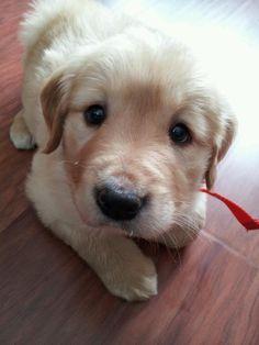 golden retriever puppy looking into the camera