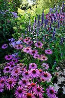 echinacea purpurea 'After Midnight', agastache 'Blackadder' | PHILIPPE PERDEREAU Garden Images