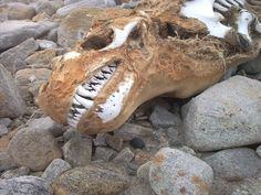 Leopard seal skull : pics