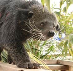 Rungus, the Male Binturong @ Aquarium of the Pacific at Long Beach.  He smells like buttered popcorn!!
