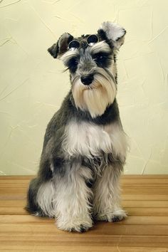 """Awesome """"schnauzer dogs"""" info is offered on our site. Mini Schnauzer Puppies, Schnauzer Puppy, Miniature Schnauzer, I Love Dogs, Cute Dogs, Schnauzers, Dogs And Puppies, Doggies, Beautiful Dogs"""