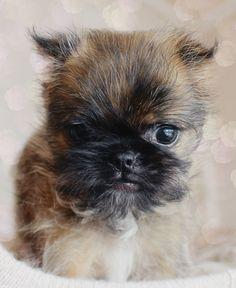 Brussels Griffon Puppy :)