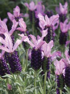 Lavender 'Ruffles Blueberry' (Lavandula stoechas)
