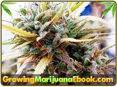 Cannabis Growing Mediums   http://www.growingmarijuanaebook.com/growing-mediums.php