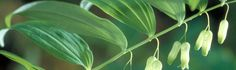 Solomon's Seal: Increased Healing Benefits with 7 Key Herbs on Cortesia Solomons Seal