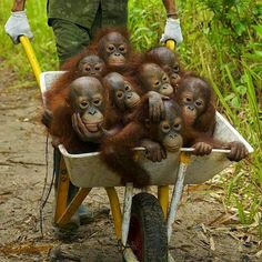 Wheelbarrow full of monkeys