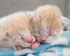 It's a double stuffed purrito with Pip (left) & Siris of the Palendrome kittens from Tinykittens.com (5/1/2015)